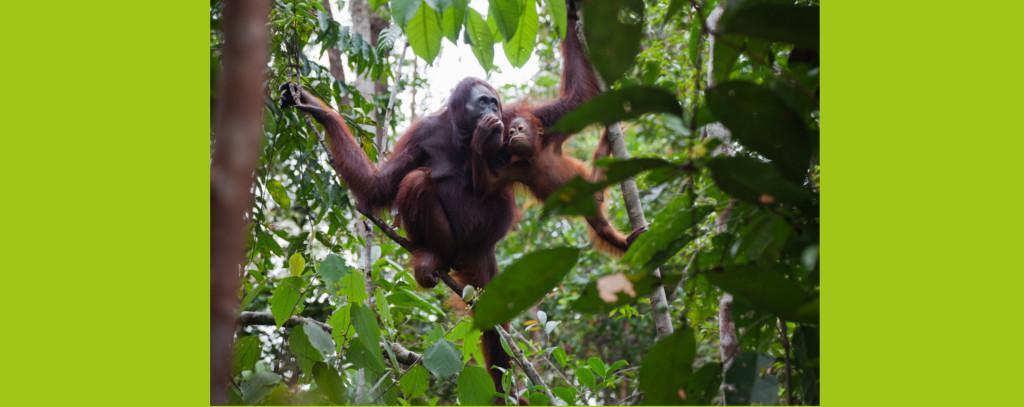Orang Utan Mutter mit Kind im Tropenwald
