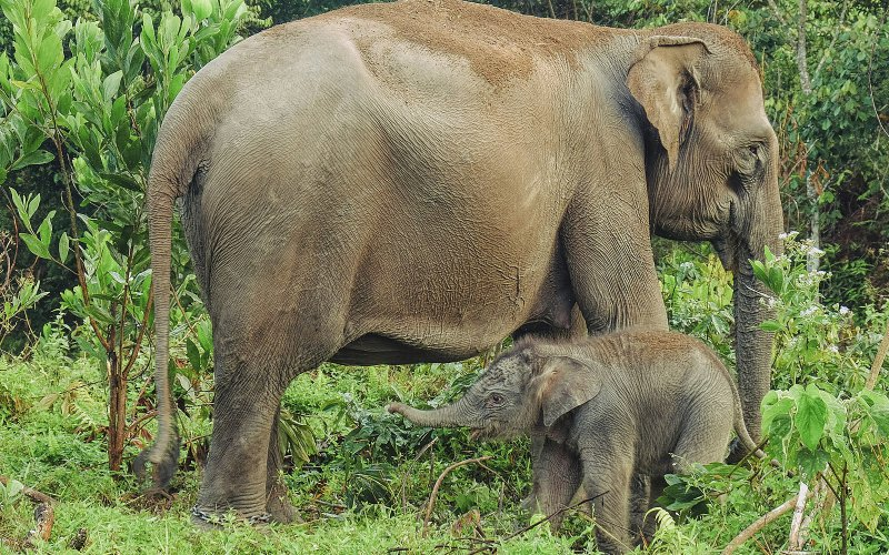 Endangered Sumatran elephants