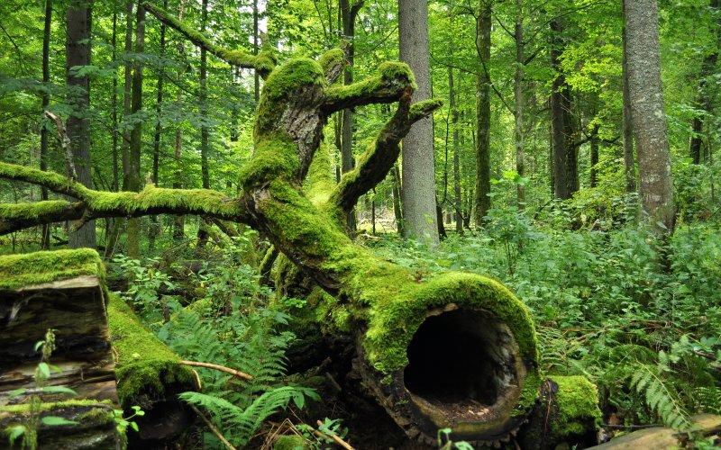 Forest of Bialowieza