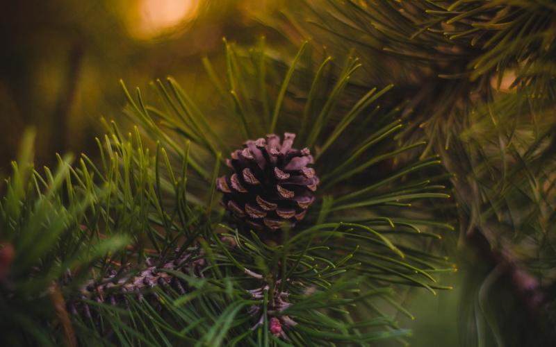 Tanne Weihnachtsbaum Ökologisch