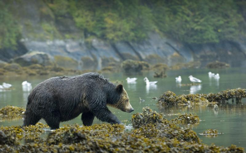 Great Bear Rainforest Grizzlies