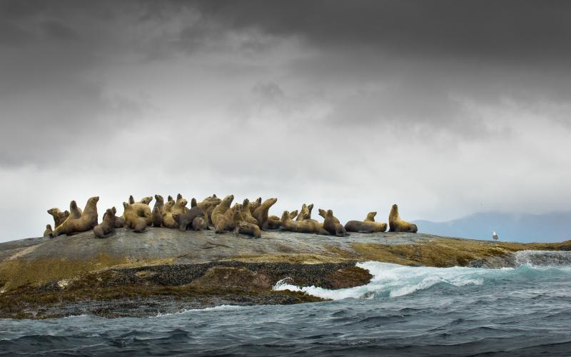 Great Bear Rainforest Sea lions